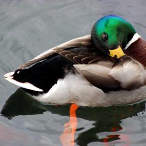 by Christie Henderson - Novices Only Wildlife ( ducks,  )