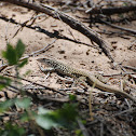 Marbled Whiptail
