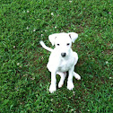 Frostbite  Frosty Jack Russell  mix