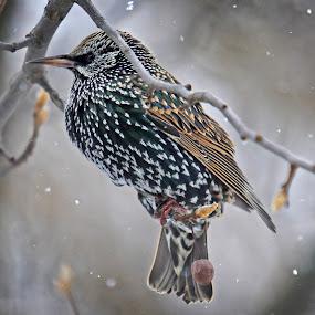 Starling3 by Robert Daveant - Animals Birds (  )