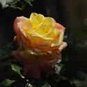 Love and Peace Hybrid Tea Rose
