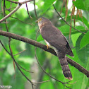Common Hawk-Cuckoo