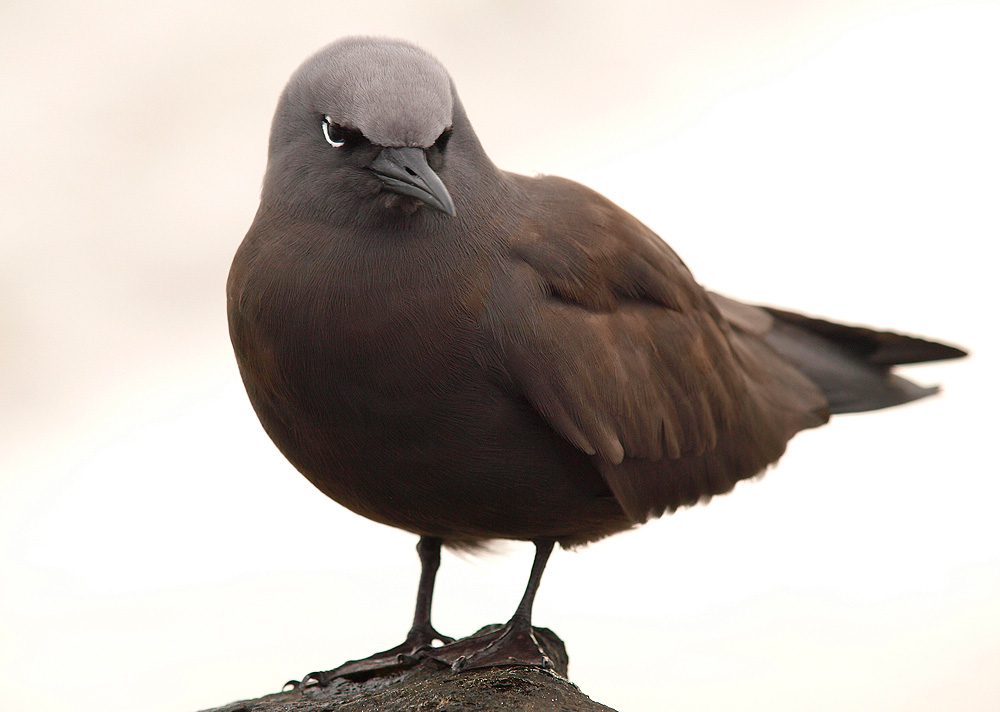 Gaviotín pardo (Brown Noddy)