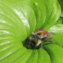Black tailed bumble bee