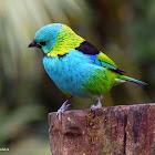 Saíra-sete-cores (Green-headed Tanager)