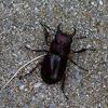 Reddish-Brown Stag Beetle - Male