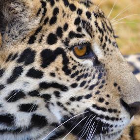 Jaguar by Jamie Tambor - Animals Lions, Tigers & Big Cats ( jaguar, big cat, spots, cat, africa )