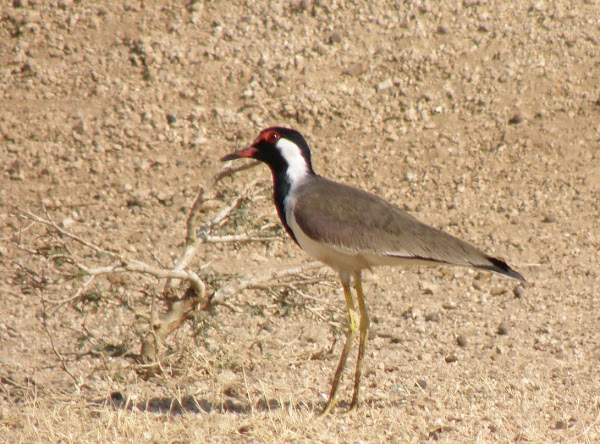 Red Wattled Lapwing Project Noah