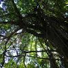 banyan, waringin, beringin tree