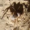 Jumping spider. Araña gris