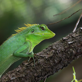 by Ibe Lase - Animals Reptiles