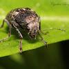 Coffee Bean Weevil