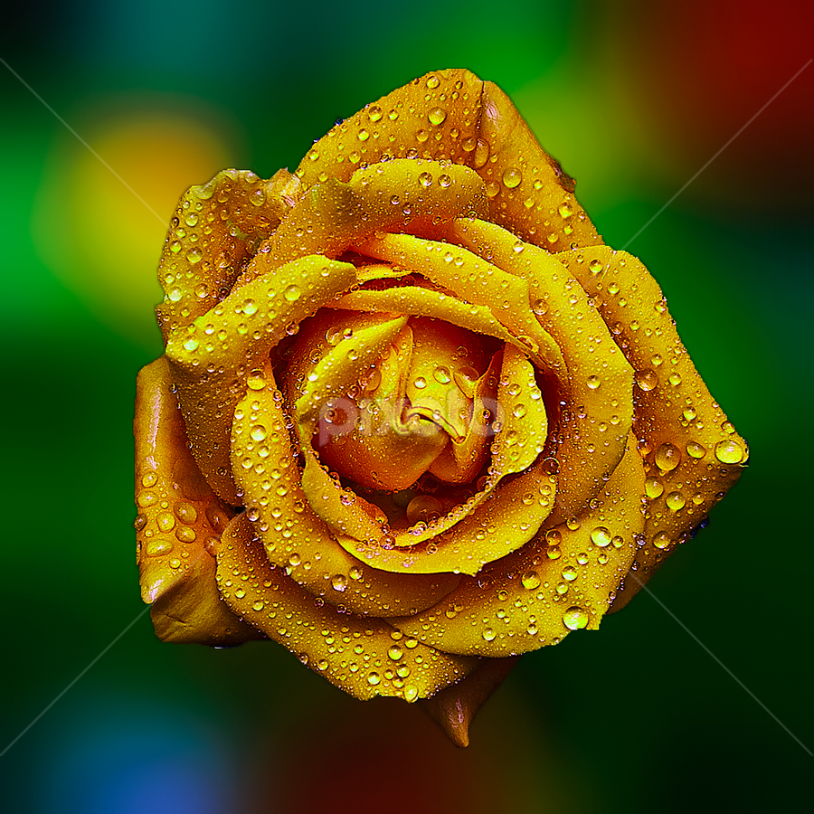 Yellow Rose by TEDDY ZUSMA - Flowers Single Flower