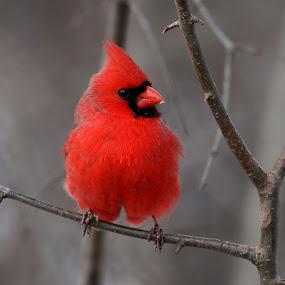 Male Cardinal by Ken Keener - Animals Birds ( winter bird, male cardinal, cardinal, male, birding )
