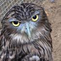 The brown/ceylon fish owl.