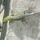 Jewel Lizard