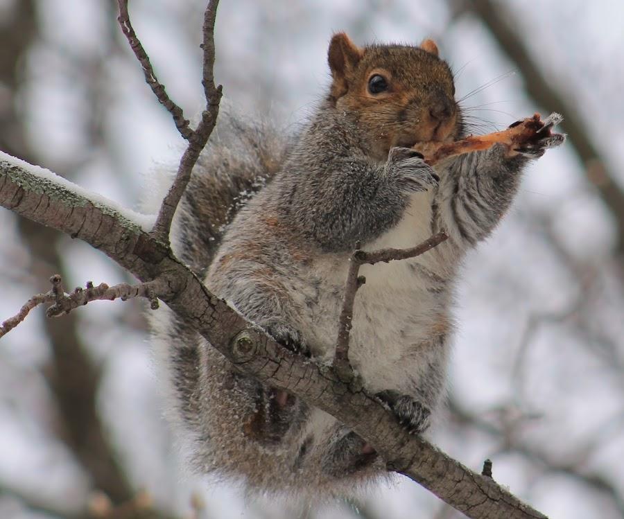 Squirrel by Tina Marie - Animals Other Mammals ( wild animals, chicken wing, wildlife, eating, mammal, squirrel, animal,  )