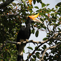 Rhinoceros Hornbill - Female