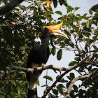 Rhinoceros Hornbill - Female