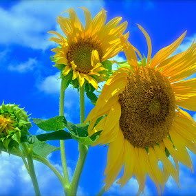 Sunshine Day Dream by Clark Crosser - Flowers Flowers in the Wild ( #summer #sunflower #grateful,  )