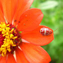 Zinnia sp. with ladybug