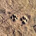 Feral Cat paw prints.