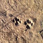 Feral Cat paw prints.