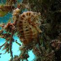 Bigbelly seahorse