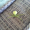 Green spider of tx