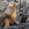Southern Sea Lion (female and pup)
