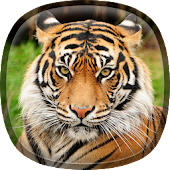 Bengal Tiger Live Wallpaper
