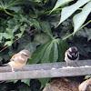 Cape sparrow/ Gewone mossie