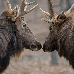 Intimidation by Andrea Silies - Animals Other Mammals ( antler, nature, elk, rut, wildlife, bull, animal,  )