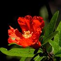Granaatappel (Punica granatum)
