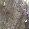 Speckled Horsehair Lichen
