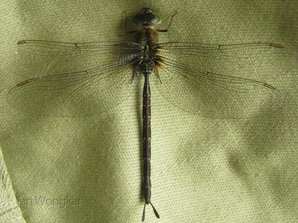 Unknown Aeshnidae