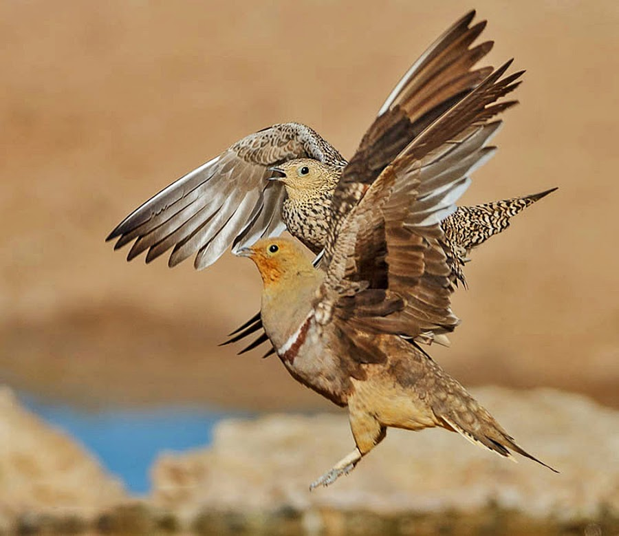 Pair of Sandgrouses by Jan Fourie - Animals Birds