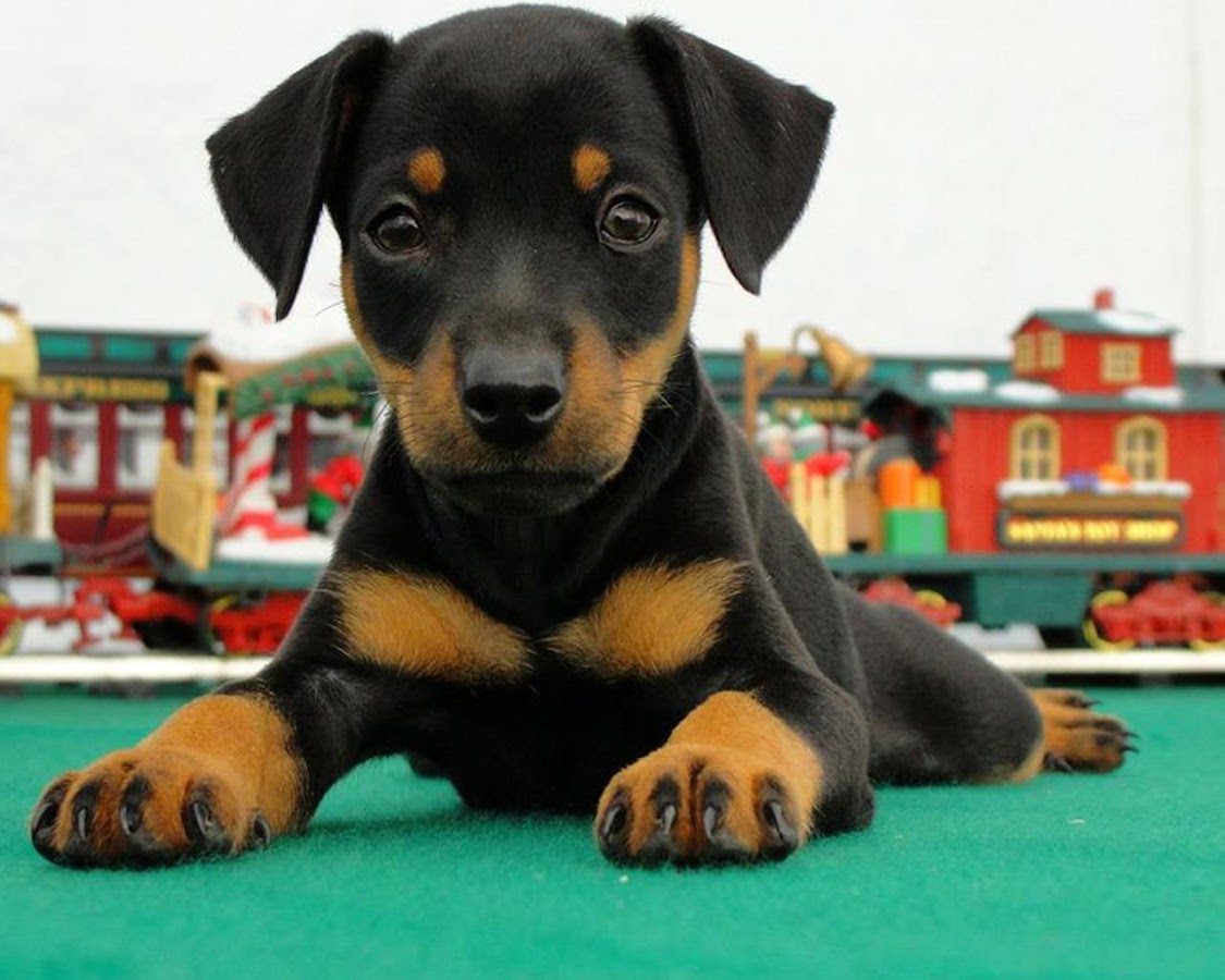 Doberman Pinschers Puzzle Apl Android Di Google Play