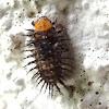 Three-spotted lady beetle larva