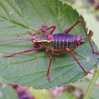 Saw tailed bush cricket (male)