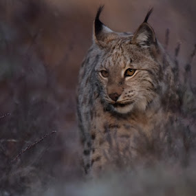 Lynx by Kristin Smestad - Animals Other ( wild cat, big cat, nordic, lynx, gaupe, animal,  )