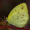 Scalloped Grass Yellow Butterfly