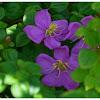 The family Melastomataceae