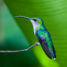 showing his tongue by Annette Flottwell - Animals Birds ( colibri, green, hummingbird, no fiddling, no processing,  )