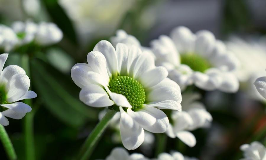 Nature's Gift I by Tashina van Zwam - Flowers Flower Arangements ( green, white, sunlight, flower, soft )