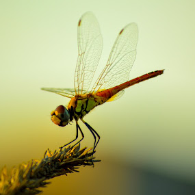 The Dragonfly. by Souvik Kundu - Animals Insects & Spiders ( terrace, macro, fly, insect, animal )
