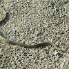 Brown Snake (DeKay's Snake)