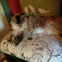 Himalayan tortoise  point , Persian, Siamese, long haired cat