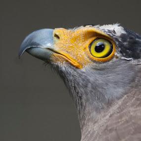 Eagle by Zam Foto - Animals Birds ( bird, eagle, avian, closeup, animal,  )