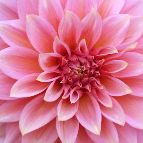 Dahlia l. by Helena Moravusova - Flowers Single Flower